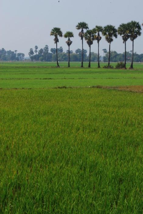 Spectacular rice paddies