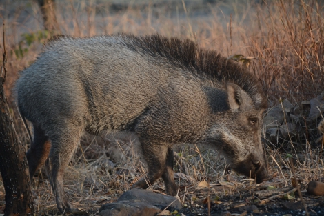 My warthog friend